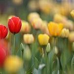 Albany Tulip Festival in Washington Park