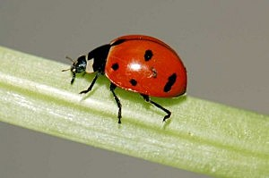 Nine-spotted Ladybug