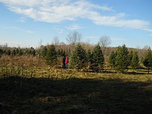 People Getting A Real Christmas Tree