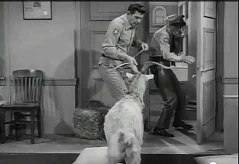 Andy Griffith Show - Goat Episode