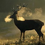 The Autumn Deer Rut